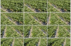 4K实拍视频素材丨摇摄草莓园里开花结果的草莓