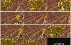 高清实拍视频素材丨左右摇摄阳光照射下葡萄园里种植的葡萄
