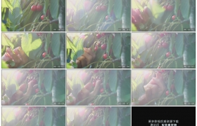 高清实拍视频素材丨特写采摘樱桃树上红色的樱桃