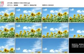 4K视频素材丨摇摄蓝天下的向日葵花