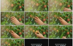 高清实拍视频素材丨特写女子采摘桃树上的桃子