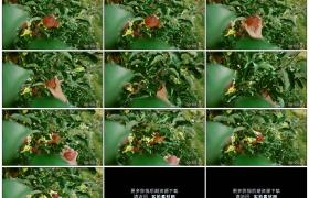 4K实拍视频素材丨特写摘下苹果树上的红色苹果