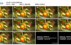 高清实拍视频素材丨挂在枝头的柑橘
