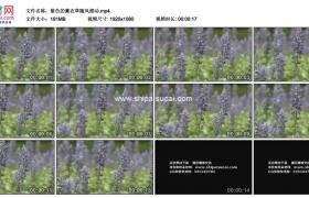 高清实拍视频素材丨紫色的薰衣草随风摆动