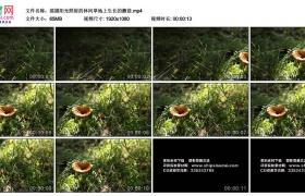 高清实拍视频素材丨摇摄阳光照射的林间草地上生长的蘑菇