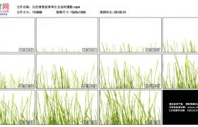 高清实拍视频丨白色背景前青草生长延时摄影
