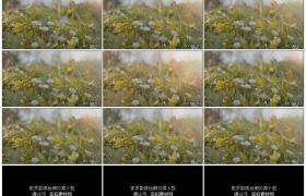 4K实拍视频素材丨阳光逆光照射着樱花飘落下草地上的雏菊