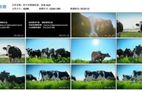 【高清实拍素材】奶牛在牧场吃草、闲逛