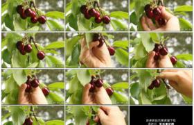高清实拍视频素材丨特写采摘树枝上成熟的樱桃