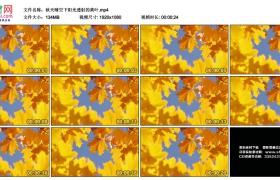 高清实拍视频丨秋天晴空下阳光透射的黄叶