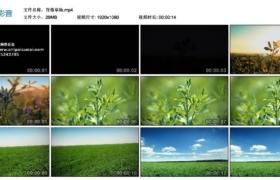 【高清实拍素材】苜蓿草场