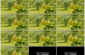 高清实拍视频素材丨苹果园里树枝上的苹果随风摇摆