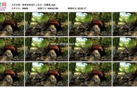 4K实拍视频素材丨树林枯枝残叶上长出一朵蘑菇