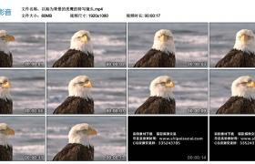 高清实拍视频素材丨以海为背景的秃鹰的特写镜头