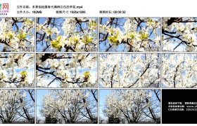 高清实拍视频素材丨多景别拍摄春天满树白色的李花