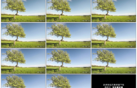 高清实拍视频素材丨春天蓝天流云下草地上一棵开花的苹果树