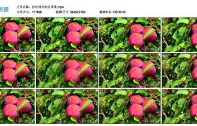 4K视频丨挂在枝头的红苹果