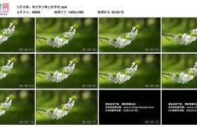 高清实拍视频丨春天李子树上的李花