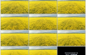 4K实拍视频素材丨航拍农田里的金色油菜花海