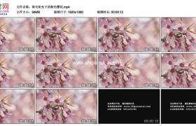 高清实拍视频素材丨春天阳光下的粉色樱花