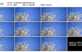 高清实拍视频丨蓝天背景前白色的樱花随风轻摆