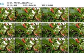 4K视频丨苹果树枝头上挂着的红苹果