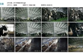 【高清实拍素材】奶牛养殖场内景