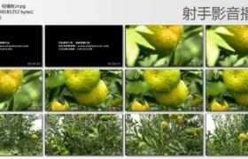 [高清实拍素材]柑橘特写、柑橘树