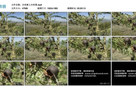 高清实拍视频丨合欢树上合欢果