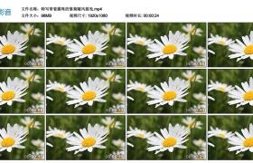 高清实拍视频丨特写带着露珠的雏菊随风摇曳