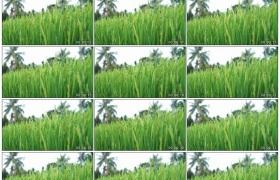 高清实拍视频素材丨热带地区稻田里随风摆动的稻穗