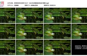 4K实拍视频素材丨荷塘里绿色的荷叶丛中一朵白色的睡莲绽放延时摄影