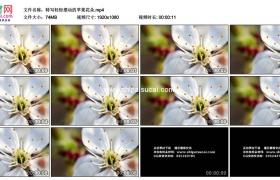 高清实拍视频素材丨特写轻轻摆动的苹果花朵