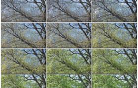 高清实拍视频素材丨季节变化 树木发芽到枝繁叶茂延时摄影