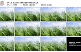 高清实拍视频丨蓝天下麦田里青青的麦穗和飘荡的麦芒