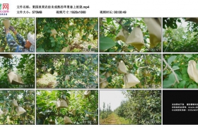 高清实拍视频素材丨果园里果农给未成熟的苹果套上纸袋