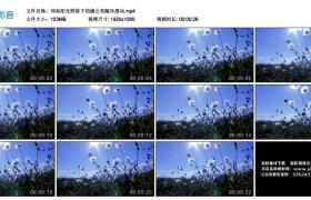 高清实拍视频丨仰拍阳光照射下的蒲公英随风摆动