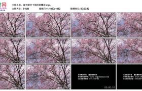 高清实拍视频素材丨春天晴空下绚烂的粉色樱花