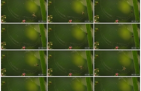 4K实拍视频素材丨特写一只蜘蛛织网