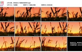 高清实拍视频丨黄昏逆光下摇摆的狗尾草
