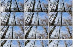 4K实拍视频素材丨摇摄秋天蓝天下的树林
