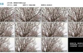 【高清实拍素材】满树盛开的桃花