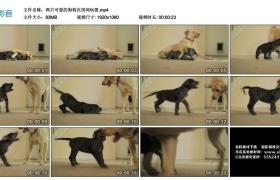 高清实拍视频丨两只可爱的狗狗在房间玩耍