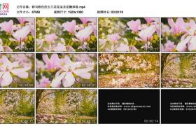 高清实拍视频素材丨特写粉色的玉兰花花朵及花瓣掉落