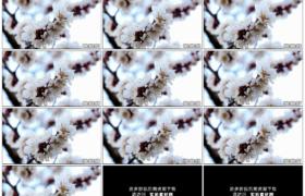 高清实拍视频素材丨特写春天树枝上白色的樱花