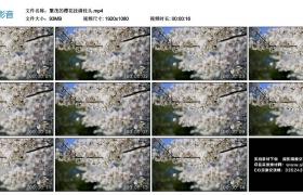 高清实拍视频丨繁茂的樱花挂满枝头