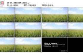 4K视频素材丨摇摄麦田里青色的麦穗