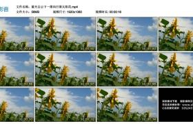 高清实拍视频丨蓝天白云下一排向日葵太阳花