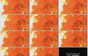 高清实拍视频素材丨秋天红色的枫叶随风摆动