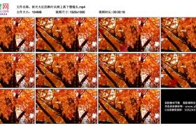 高清实拍视频丨秋天火红的枫叶从树上落下慢镜头